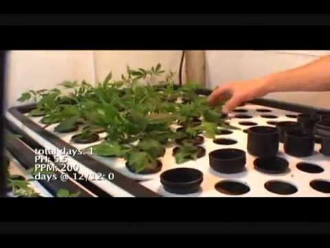 Medical Marijuana Grow 2
