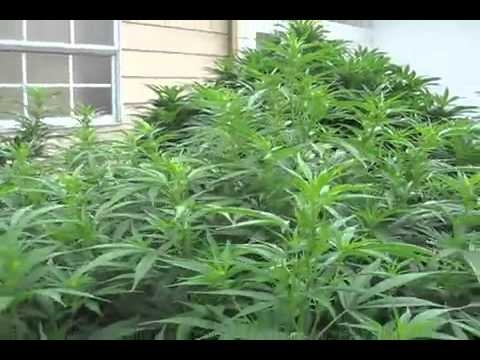 Medical Marijuana Grow Outdoor