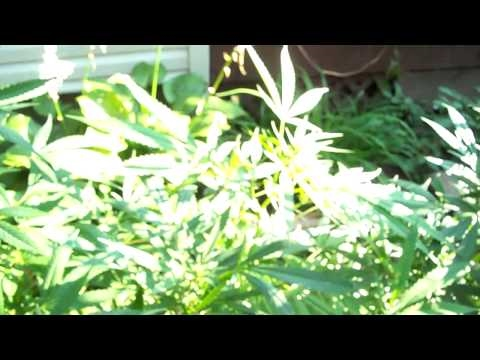 Medical Marijuana Grow Medical Marijuana Grow