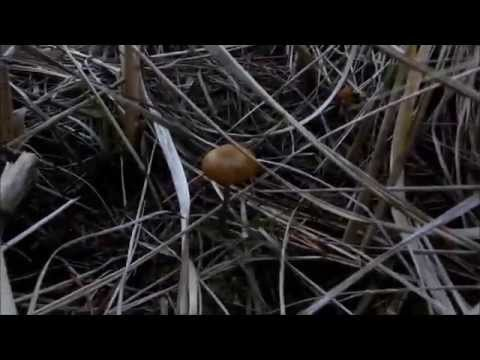 How to Find Magic Mushrooms: Psilocybe azurescens in the Pacific North West.