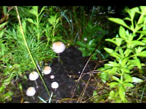 The hunt for psilocybin mushrooms the blue meanie
