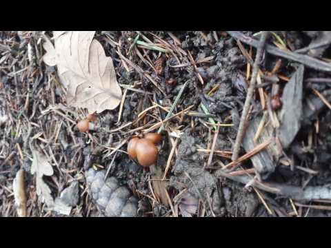 How to identify plisocybe cyanescens in oregon part 1