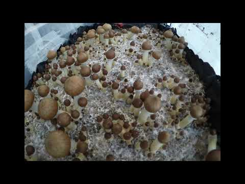 Magic Mushrooms Fruiting in Monotub Timelapse