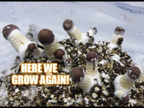 My Psilocybe Cubensis | Growing Magic Mushrooms