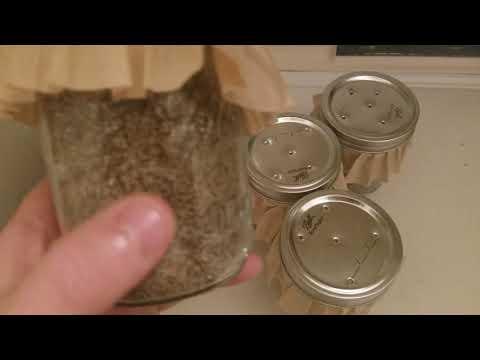 "How to grow ""Magic Mushrooms"" 3 Days after Inoculation"